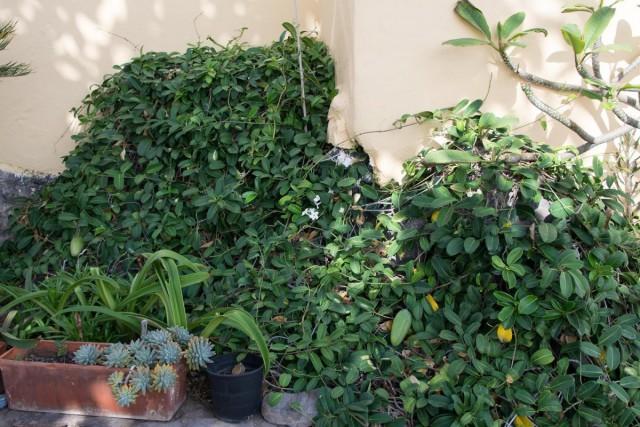 Даже без цветов лиана стефанотис очень декоративна