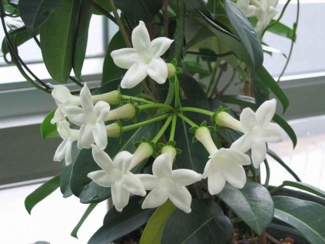 Стефанотис сможет цвести только на хорошо освещенном месте