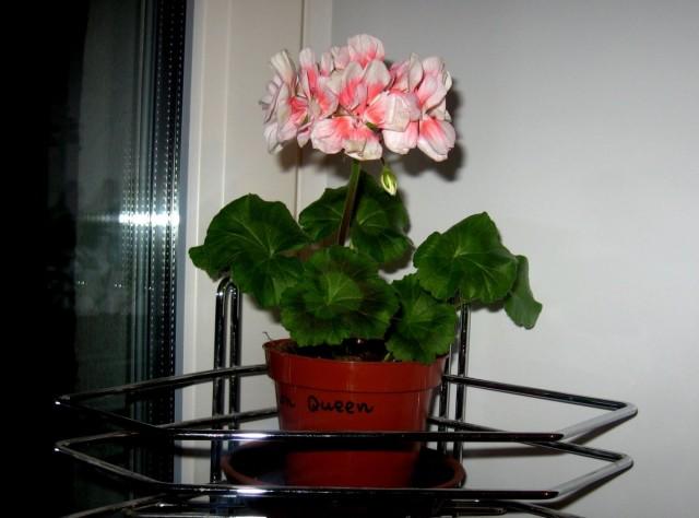 При хорошем освещении и подходящих температурах пеларгония может цвести зимой