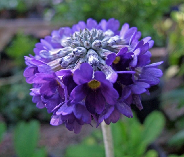 Примула головчатая (Primula capitata)