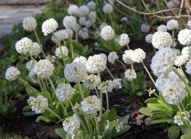 Примула мелкозубчатая (Primula denticulata) Альба