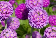 Зубчатолистные примулы — виды, использование в дизайне сада, уход