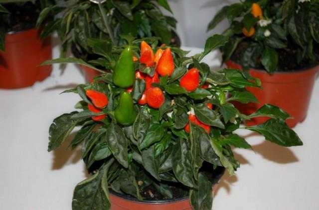 Жгучий перец (Capsicum)