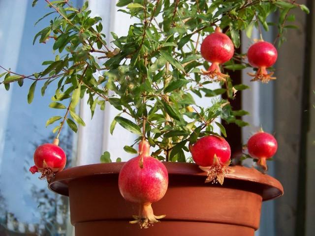 Гранат (Punica granatum)