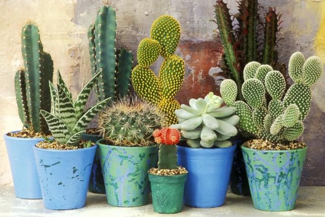 Многие кактусы легко вырастить из семян