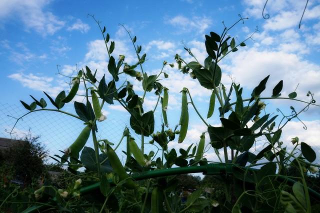 Горошек для осеннего сбора высевают в июле-августе