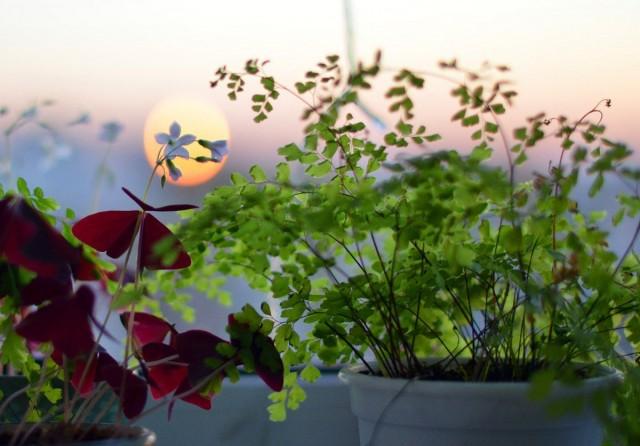Прямого солнца адиантумы не выносят, о нехватке или избытке освещения они сигнализируют изменением окраса