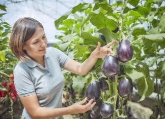 Баклажан — овощ долголетия