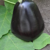 Баклажан «Черный красавец»
