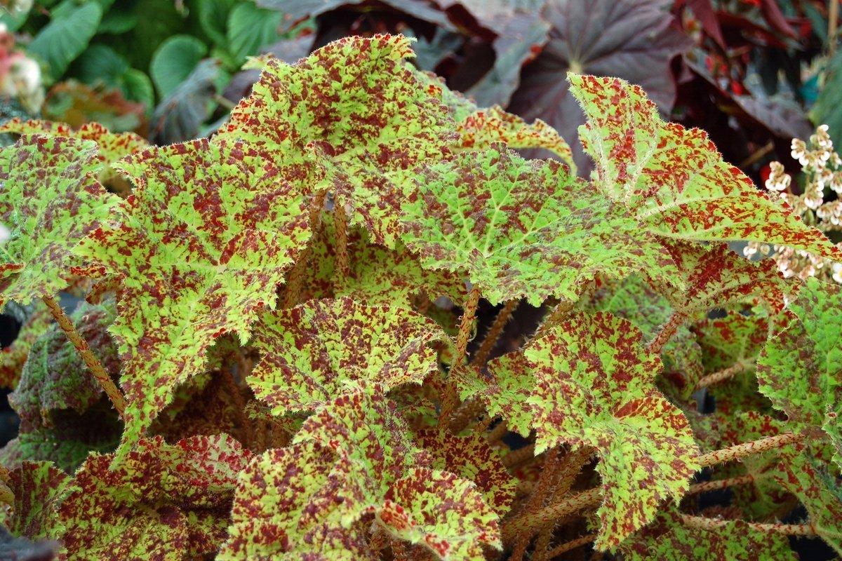begonia-marmaduke-1_1