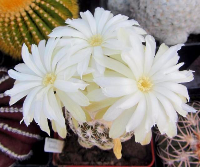 Дискокактусы размножают преимущественно семенами