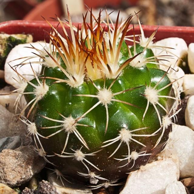 Дискокактус незамечательный (Discocactus pseudoinsignis)