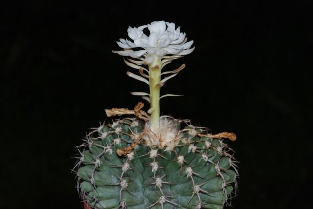 Дискокактус семиколючковый (Discocactus heptacanthus)