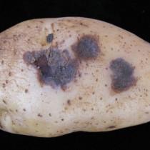 Альтернариоз (сухая пятнистость картофеля)