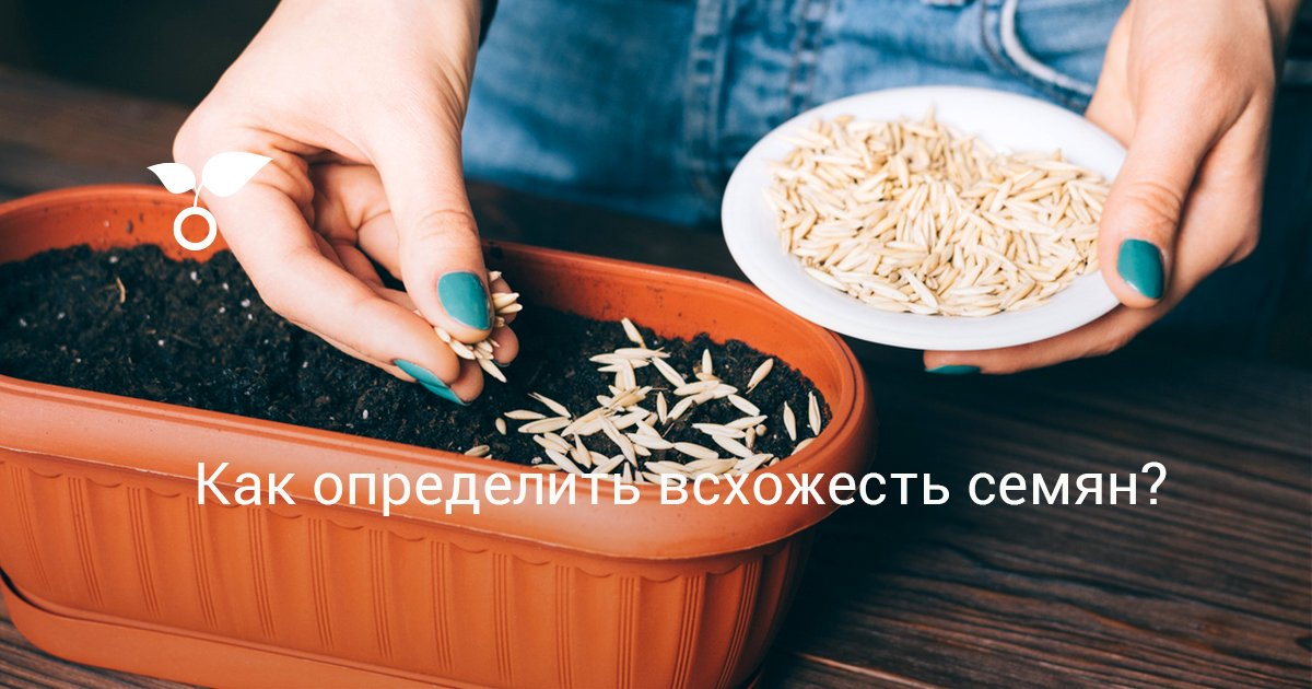 Как проверить семена огурцов на всхожесть