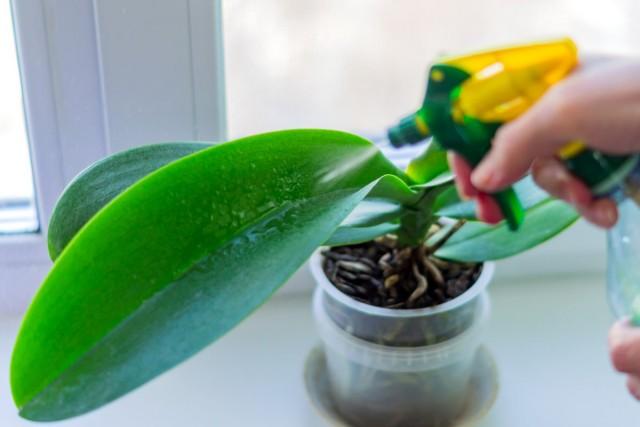 Недостаток влажности, как и переувлажнение для орхидеи губительны