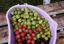 Крыжовник в моём саду — 5 сортов, устойчивых к мучнистой росе