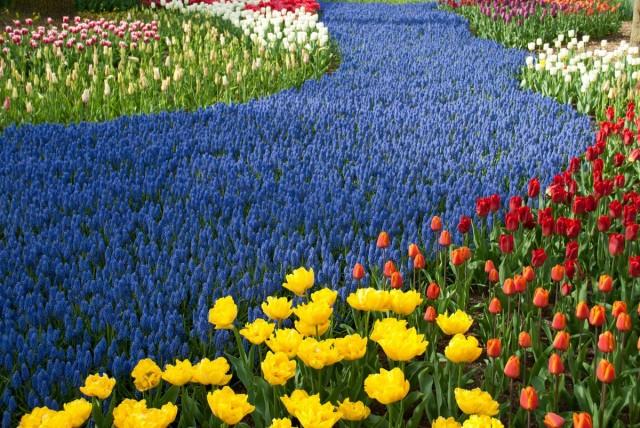 Парк Кёкенхоф — королевство весенних луковичных в Голландии
