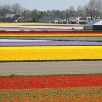 Кёкенхоф - это необъятные поля тюльпанов, от которых дух захватывает!
