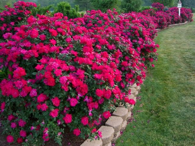 Однородный (простой) моноцветник создают из одного сорта или вида растений