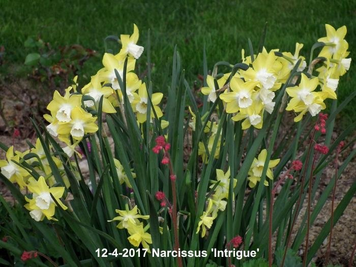narcissus-intrigue-2_1