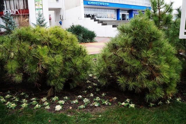 Невысокие от природы сосенки (сосна горная, кедровый стланник и другие) мало похожи на привычные ёлки