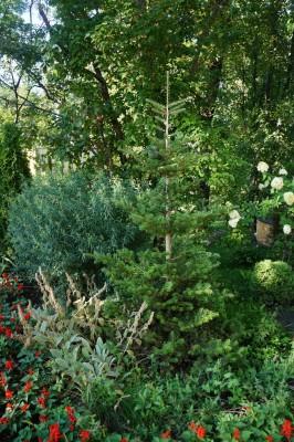 Пихта корейская в саду