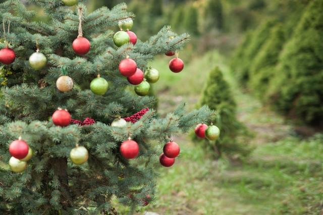 Рождественское дерево в саду — лучшие хвойные породы, виды и сорта