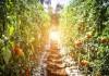 Какие сорта томатов мы рекомендуем выращивать в сезоне 2019