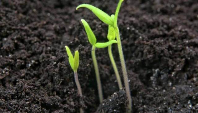Когда у всходов томатов появятся 2-3 настоящих листа, нужно будет оставить самый сильный росток, остальные убрать
