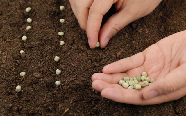 Контрольный посев семян - эффективный способ проверить их всхожесть