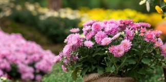 Выращивание хризантем на продажу, или Цветы как бизнес