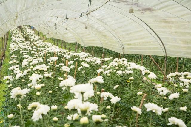 Для получения хризантем на срез в ранние сроки (август–октябрь) используют небольшие плёночные теплицы или укрытия