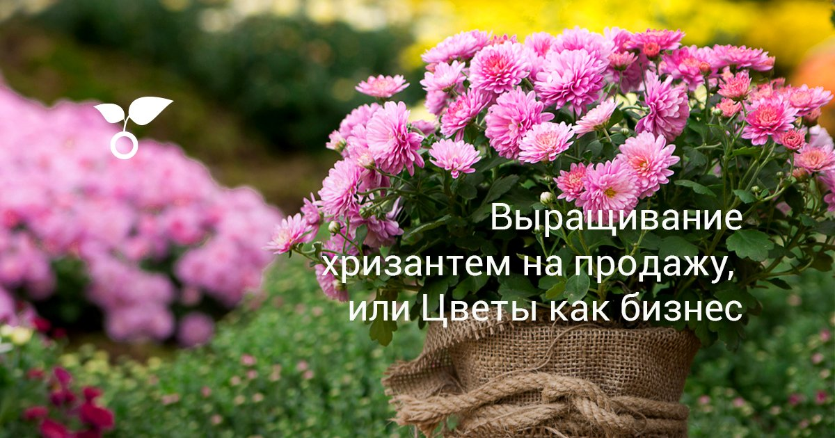 Технология выращивания хризантем в теплице – Огородник