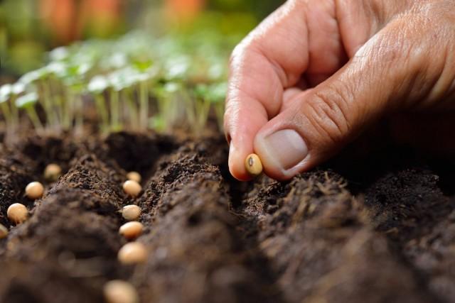 Подготовка собственноручно собранных семян к посеву - обязательный этап выращивания здоровой рассады