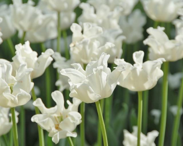 Сорт тюльпана «Белый Либерстар» (White Liberstar)