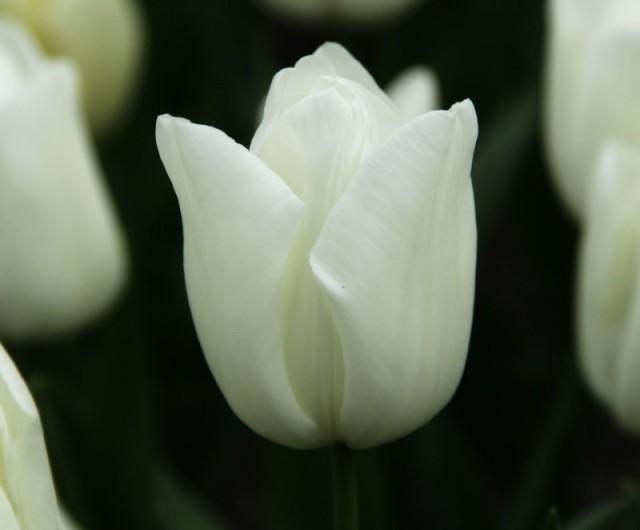 Сорт тюльпана «Киванис» (Kiwanis)