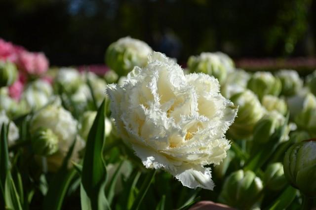Сорт тюльпана «Снежный кристалл» (Snow Crystal)