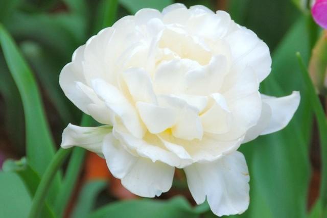 Сорт тюльпана «Гора Такома» (Mount Tacoma)