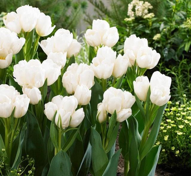 Сорт тюльпана «Белый берлинец» (Weisse Berliner)