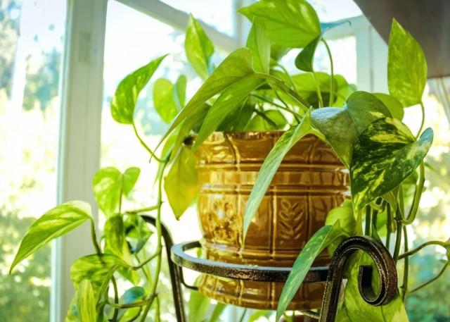 Длинные побеги многих комнатных растений весной можно и даже нужно укоротить, придавая кусту или деревцу правильную форму