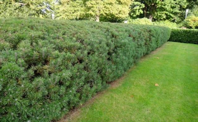 Живая изгородь из сосны горной (Pinus mugo Turra)