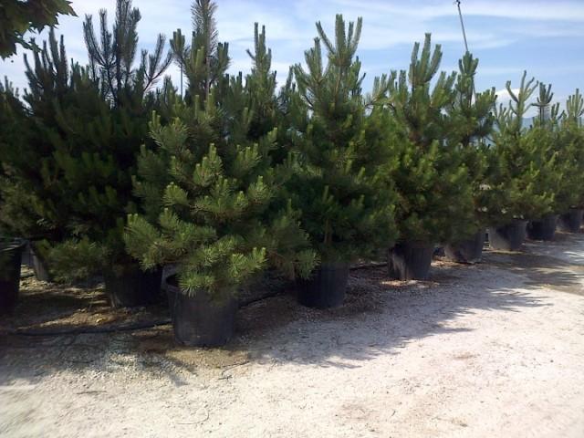 Сосна черная (Pinus nigra)Сосна черная (Pinus nigra)