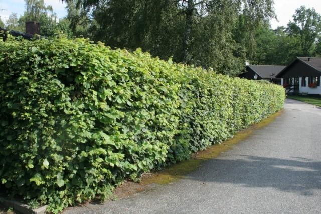 Живая изгородь из липы мелколистной, сердцелистной, или сердцевидной (Tilia cordаta Mill)