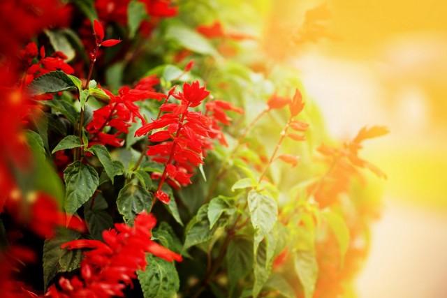 Сальвия блестящая (Salvia splendens)