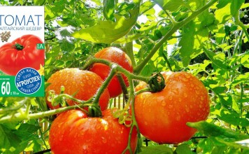 Томаты серии «Алтайский» — помидоры с фруктовым вкусом