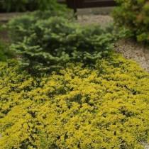 Можжевельник горизонтальный (J. horizontalis) Golden Carpet