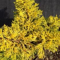 Можжевельник китайский (J. chinensis) Plumosa Aurea