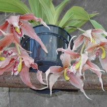 Пафиния Эррера (Paphinia herrerae)