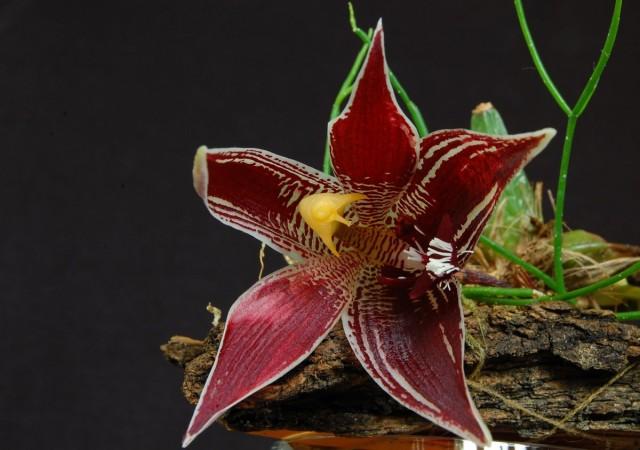 Пафиния — миниатюрная орхидея с огромными цветками